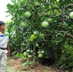 Cách trồng và chăm sóc cây bưởi đào chuyên